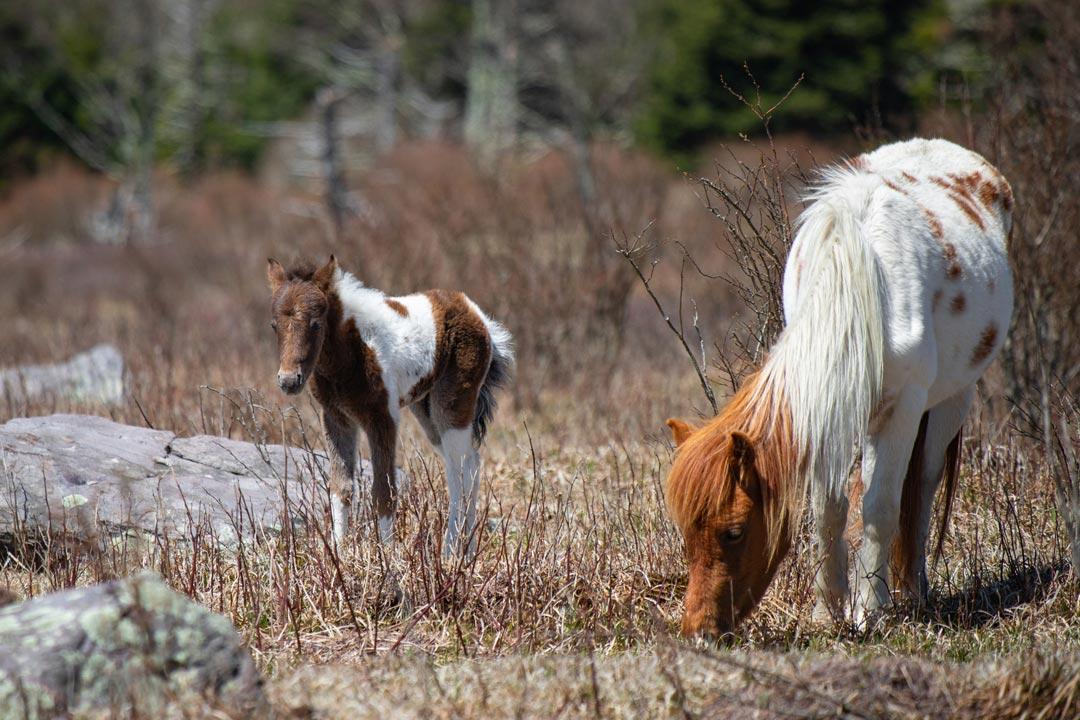 wild horses on Mount Rogers