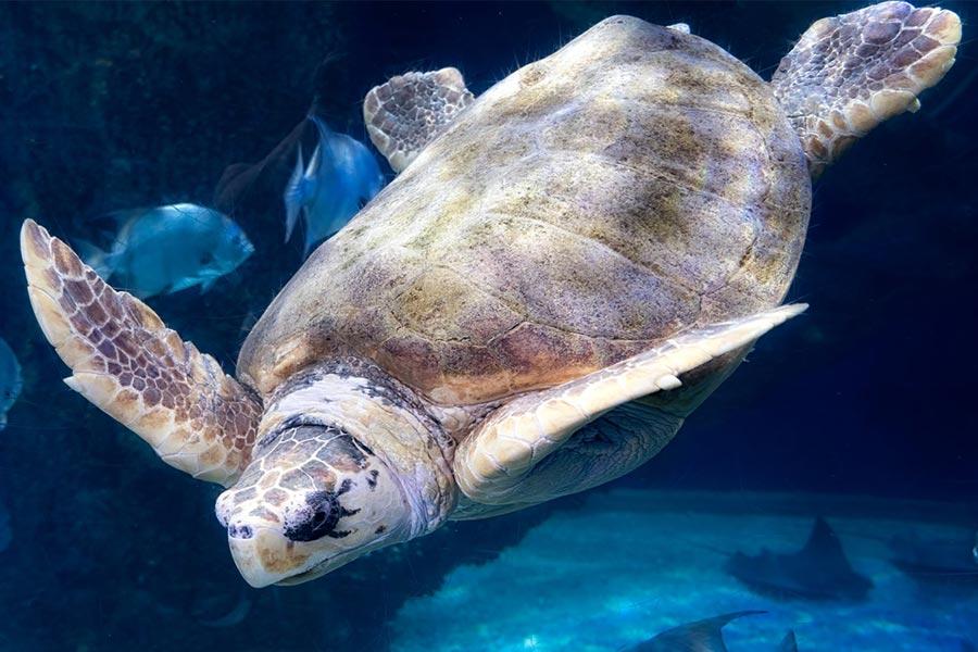 Virginia Aquarium and Marine Science Center sea turtle